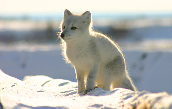 Arctic white fox