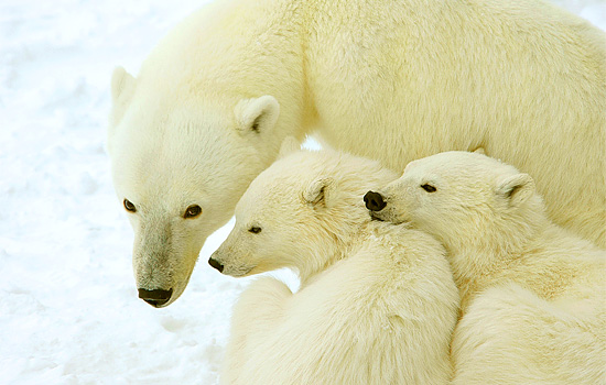 A mother polar bears watches over her two cubs