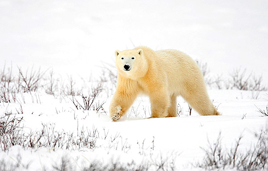 A polar bear wanders over the frozen landscape in Churchill