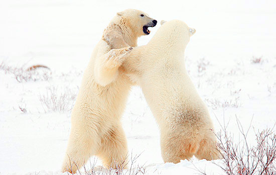 Two adult polar bears stand on their hind legs and appear to fight