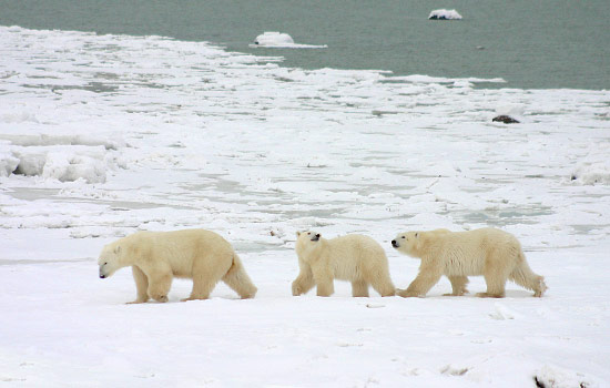Three polar bears wander single file across the frozen arctic tundra