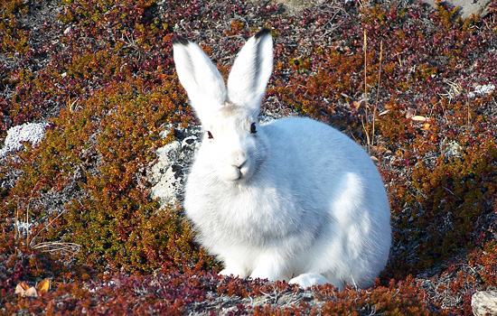 Arctic wildlife on Baffin Island
