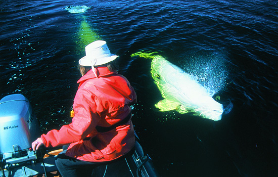 A woman watches passing beluga whales from onboard a Zodiac boat