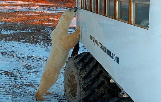 A curious polar bear peeks through the window of the Tundra Buggy in Churchill