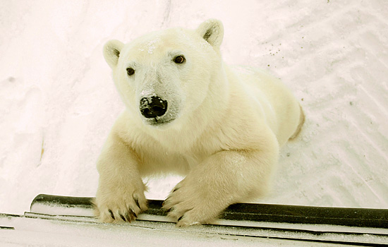 A young polar bear leans against the Tundra Buggy in Churchill