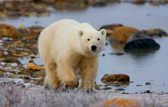 A lone polar bear wanders along the rocky coastline