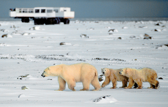 A family of polar bears wander past the Tundra Buggy on a polar bear tour in Churchill