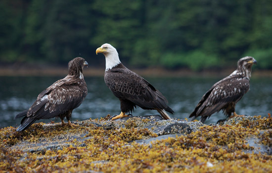 Eagle spotting on Haida Gwaii