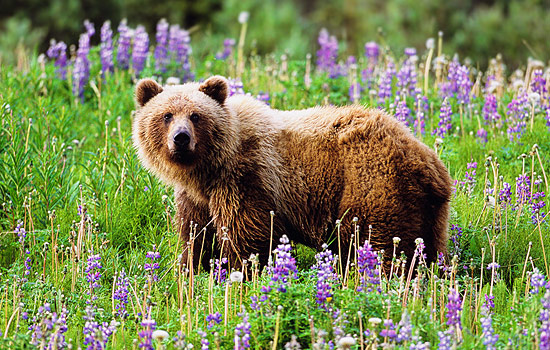 Rocky Mountain grizzly bear