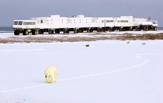 A lone polar bear wanders past the Tundra Buggy Lodge in Churchill