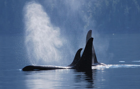 Watch for whales as you travel to Victoria on Vancouver Island