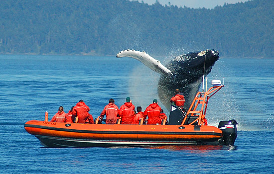 Passengers on a zodiac witness a whale breaching in front of their boat