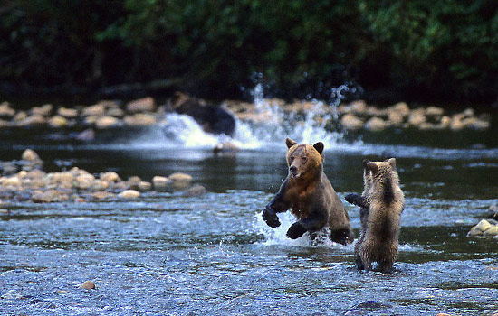 Two young grizzly bears play in a river