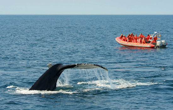 Passengers on a zodiac witness a whales tail emerging from the water in the Bay of Fundy
