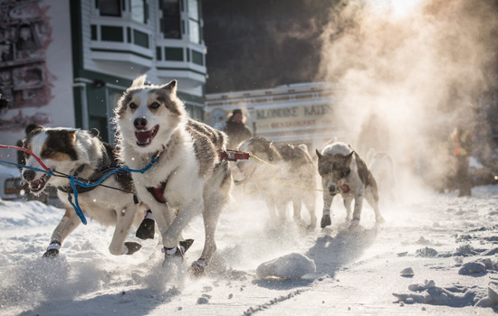 A pack of sled dogs