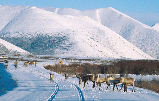 The desolate winter landscape of the Yukon with wild reindeer