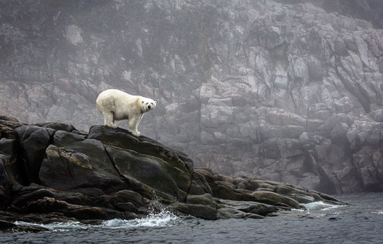 A lone polar bear roams the Arctic landscape