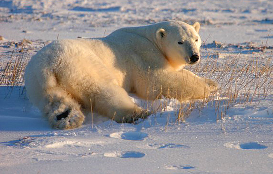 A polar bear lies down in the snow in Churchill