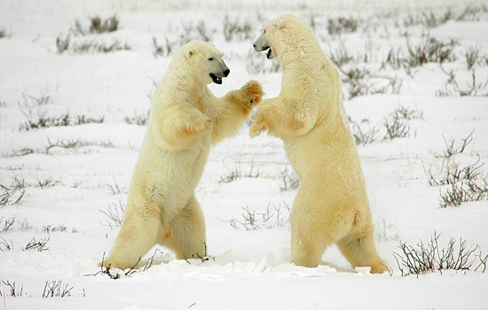 Polar bears sparring in the snow
